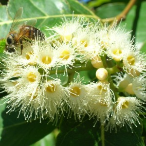 Eucalyptus_honey